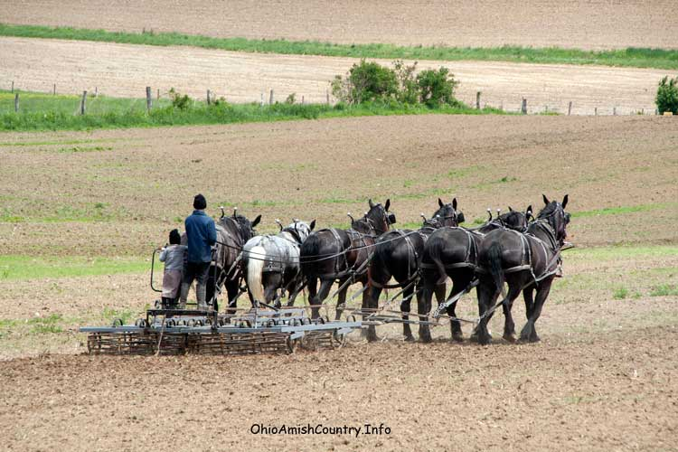 An Amish boy plowing with Percherons.